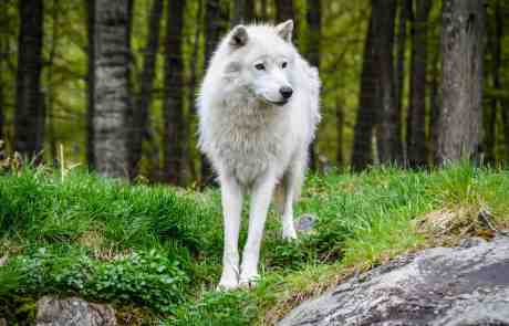 Arctic Wolf Park Omega