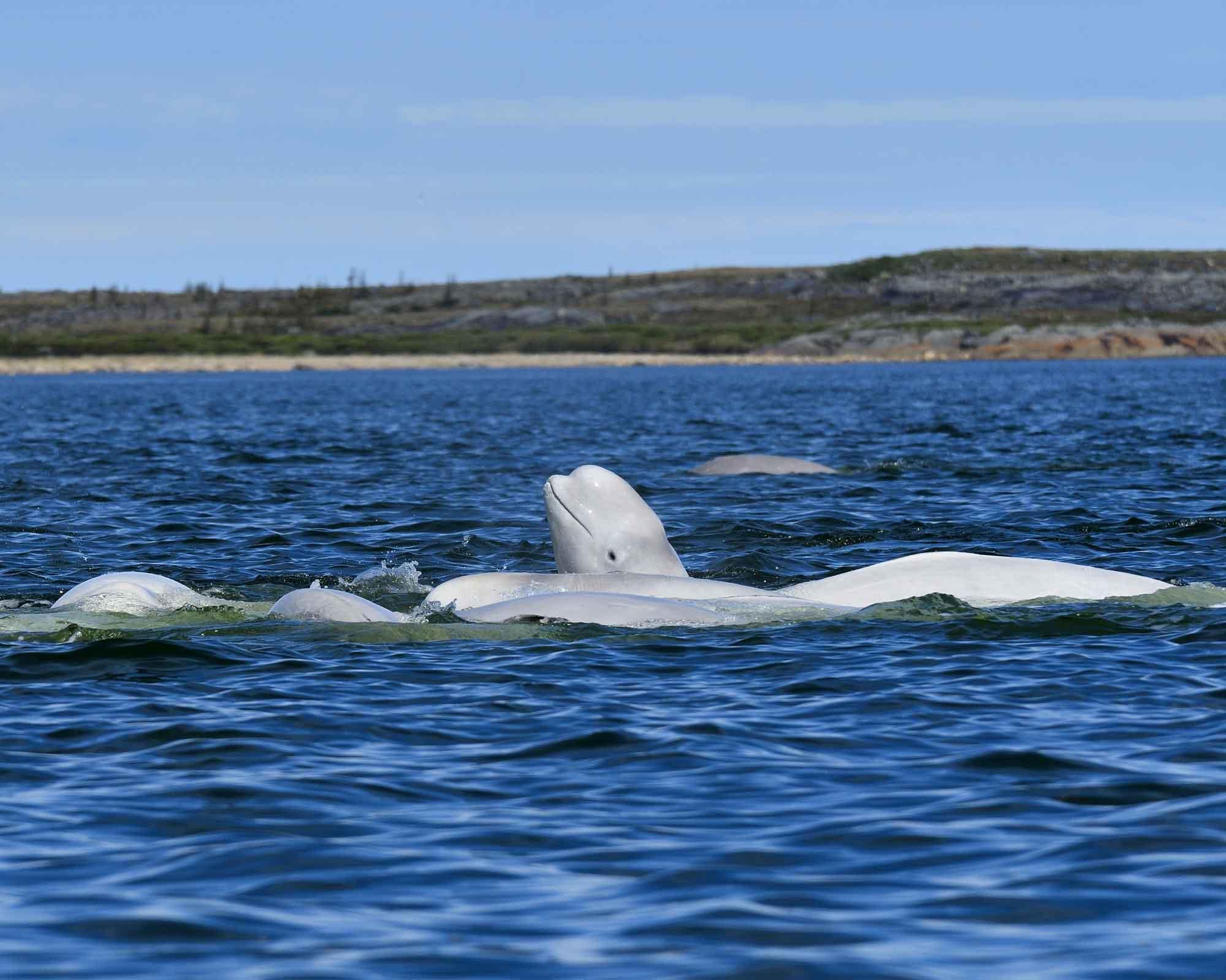 Belugas in Churchill